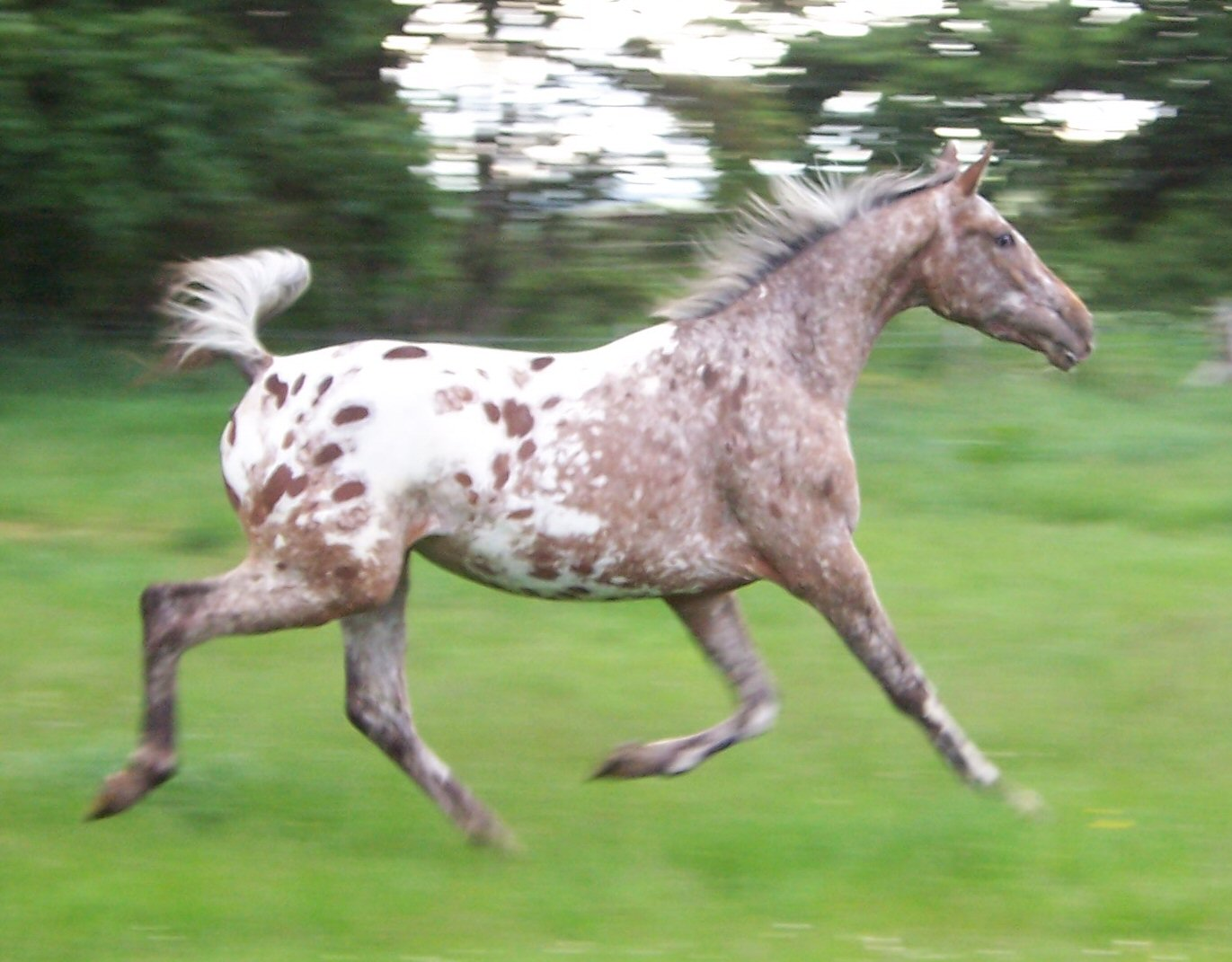 Guide to Appaloosa Horse Coat Patterns